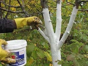 Обработка деревьев гашеной известью